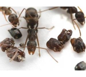 Муравьи из Флориды собирают в муравейнике головы своих жертв